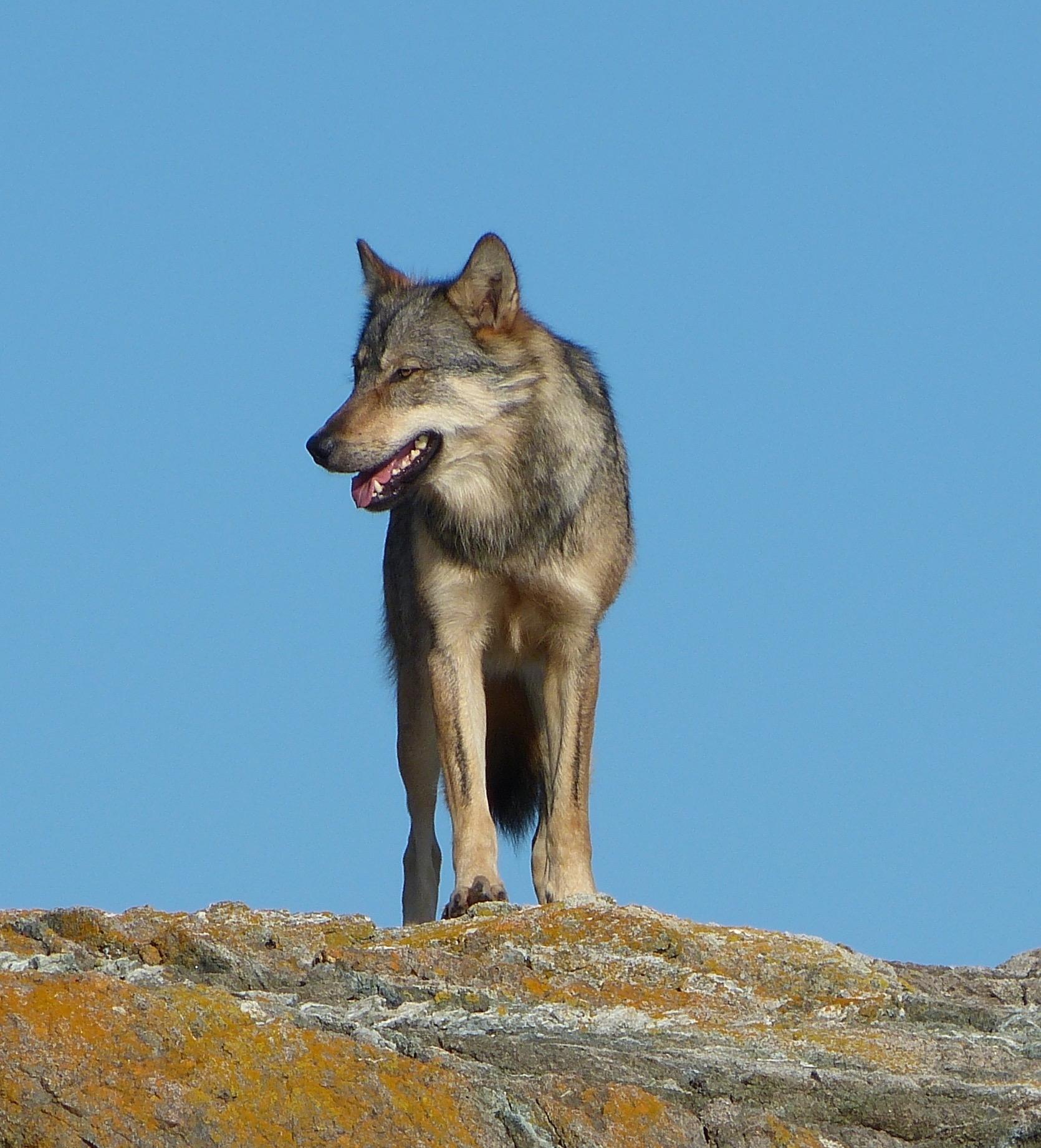 Discovery Island Wolf
