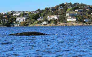 Grey Whale off Trial Island