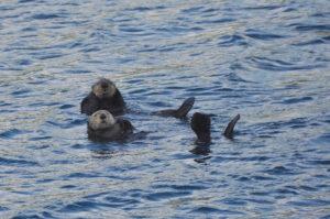 Sea Otter Kyuquot