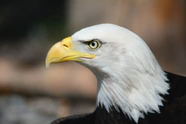 5 Facts About Bald Eagles