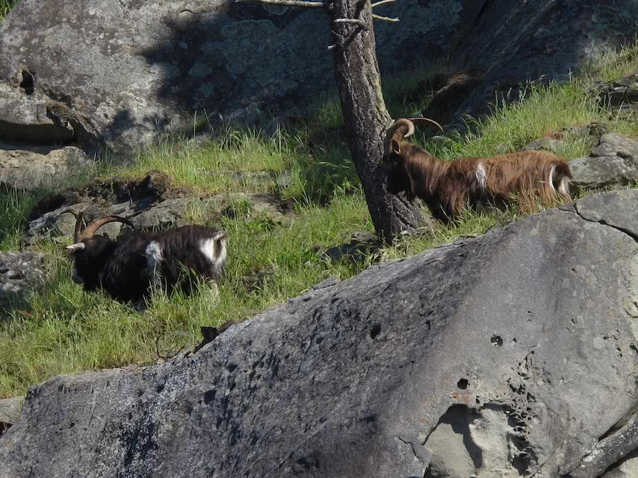 Feral Goats on Brown Ridge